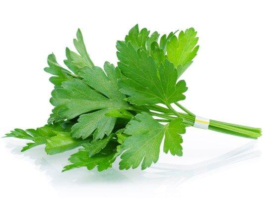 Ramillete de cilantro - Las hierbas aromaticas
