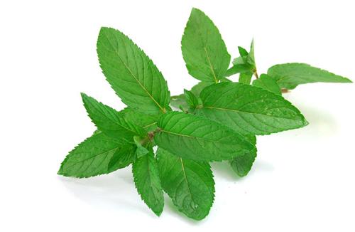 Ramita de menta - Las hierbas aromaticas