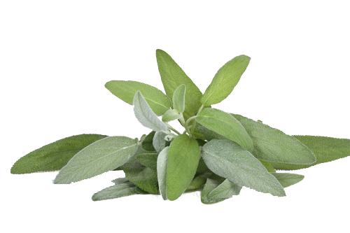 Hojas de salvia - Las hierbas aromaticas